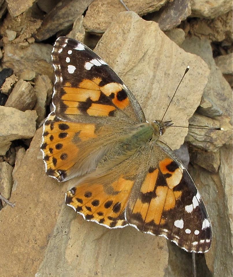 Papillon Aspe