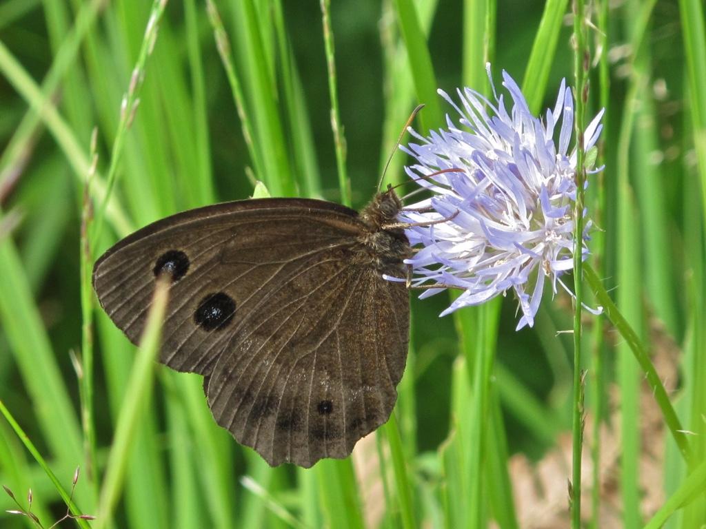 Papillon Pyrénées