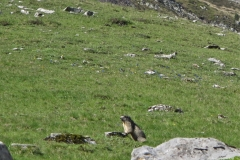 Marmote Valée Aspe