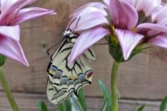 Papillon Vallée Aspe